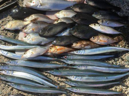 オオアジ狙いはボウズ・・日の出後サヨリメインで釣り^^
